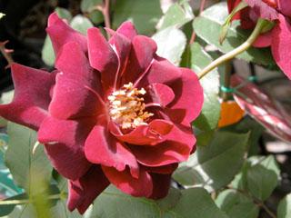 バラ(薔薇) 'ルイ14世'