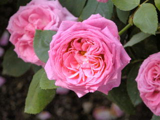 バラ(薔薇) 'ルイーズ・オーディエ'