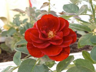 バラ(薔薇) 'ルビー・セレブレーション'