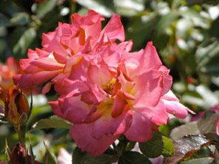 バラ(薔薇) 'レインボー・ソルベ'