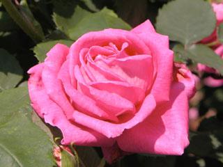 バラ(薔薇) 'レーヌ・デ・ヴィオレッツ'