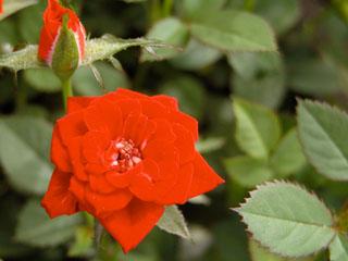 バラ(薔薇) 'レッドローザ'(ミニバラ)