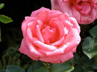 バラ(薔薇) 'レディ・シルビア'(つるバラ)