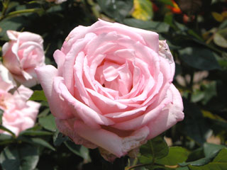 バラ(薔薇) 'レディーラック'