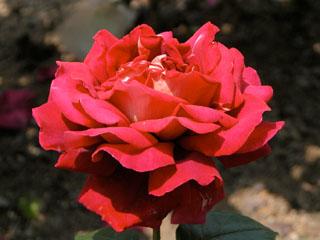 バラ(薔薇) 'ロイヤルアルバートホール'