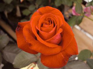 バラ(薔薇) 'ロナルドレーガン'
