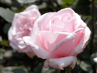 バラ(薔薇) '春芳'