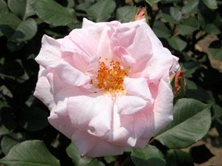 バラ(薔薇) '清涼殿'