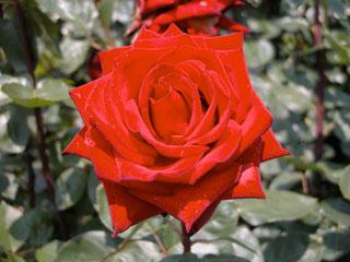 バラ(薔薇) '熱情'