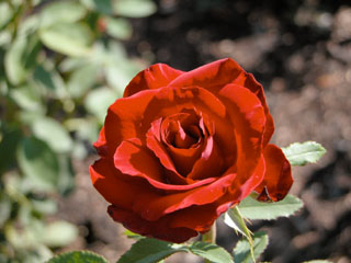 バラ(薔薇)'Jacolber'