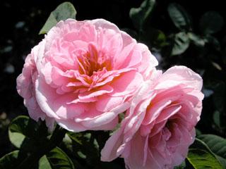 バラ(薔薇)'ガートルード・ジェキル'