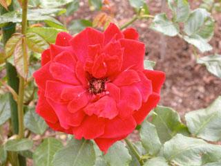 バラ(薔薇)'キャラミア'