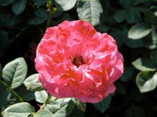 バラ(薔薇)'ハイ・ネイバー'