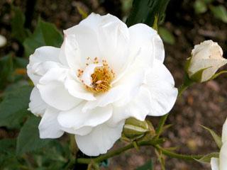 バラ(薔薇)'フラウ・カール・ドルシュキ'