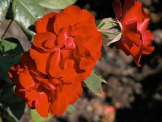 バラ(薔薇)'ユーロピアーナ'