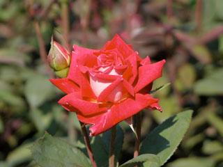 バラ(薔薇)'ラブ'