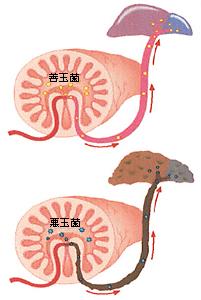 体内から皮膚に何が出てくるの?<腸内毒素編>