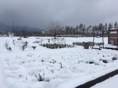 雪をかぶった香草たち
