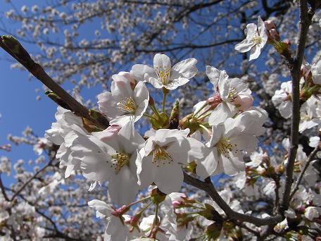 海津城の桜