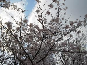 sakura_aozora_001