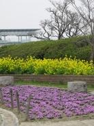 菜の花と芝桜とラグビー場の屋根