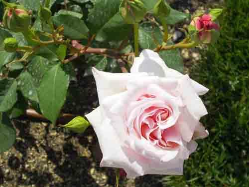 ピンクのバラの元画像