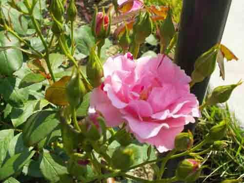 桃色のバラの元画像