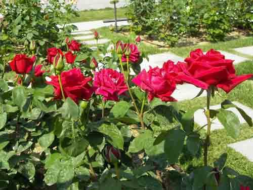 真紅のバラ群の元画像