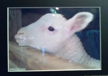 131208_sheep1.jpg