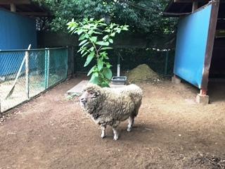 1羊.JPG