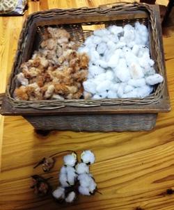 棉の実.JPG