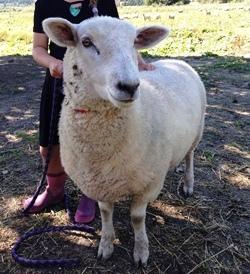 IMG_2051 NZの羊.JPG