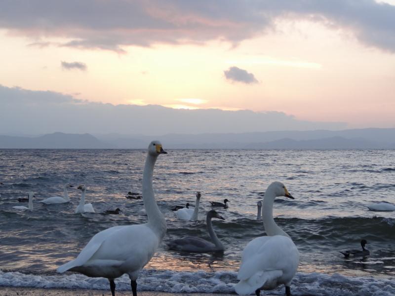 猪苗代湖 白鳥