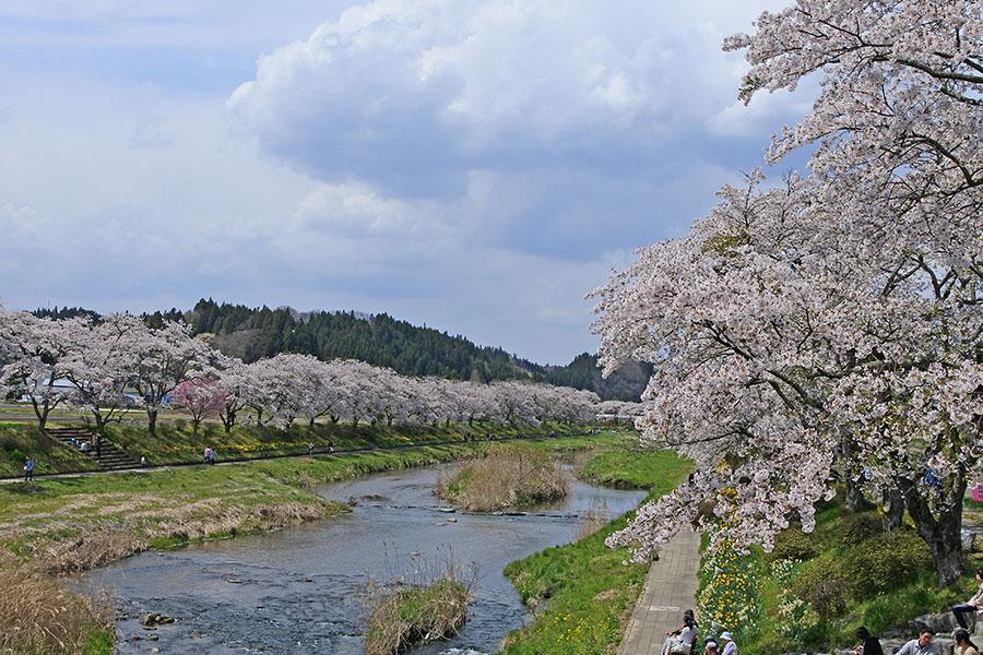 夏井千本桜1
