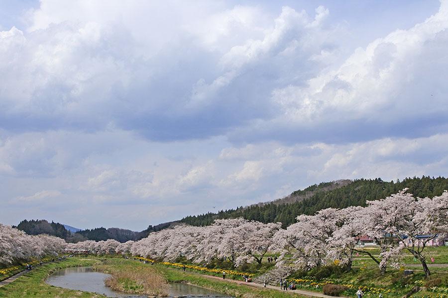 夏井千本桜3