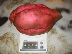 要減量サツマイモ
