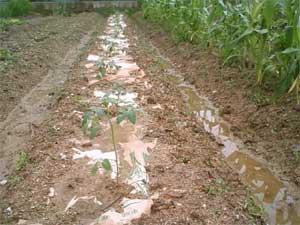 米袋マルチ01
