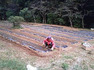 タマネギ苗植え