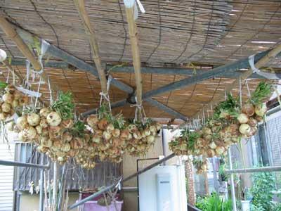 吊り玉葱2009