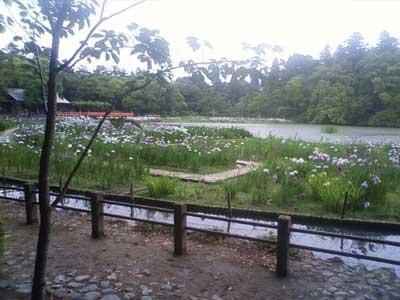 勾玉池の菖蒲