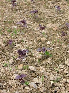 赤紫蘇2010/05/16