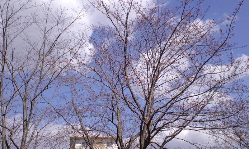 4/4井野団地の桜2