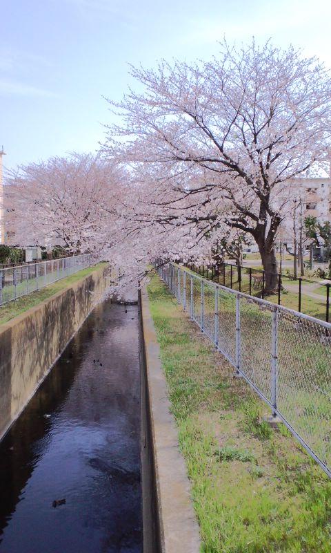 4/4井野団地の桜1