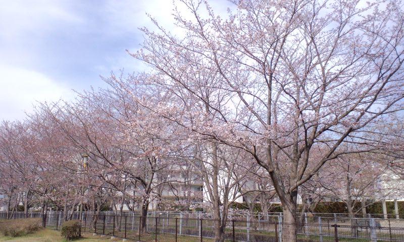 4/4井野団地の桜3