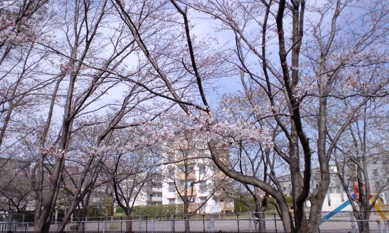 4/4井野団地の桜4