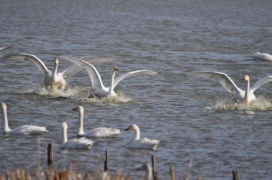 白鳥 2011-1-16 館林市 ガバ沼