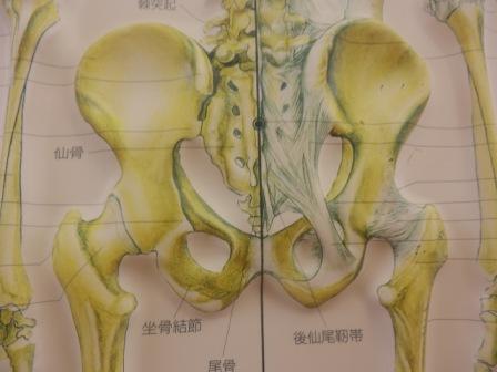 骨盤(前から)