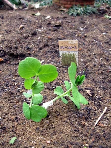 グリーンピースの苗4つ
