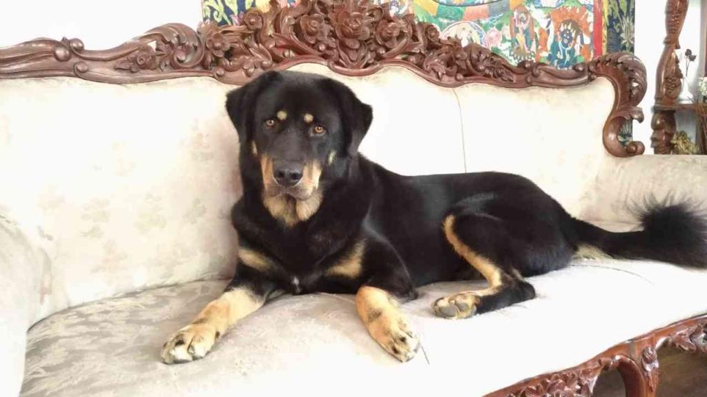 チベタンマッシブ犬