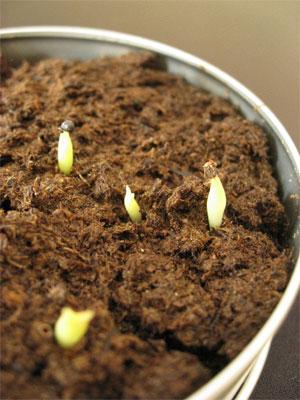 マルサボの芽